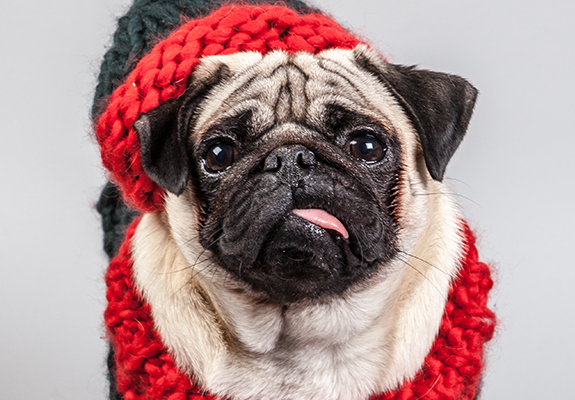 Pug Dressed up up to Christmas Dressed
